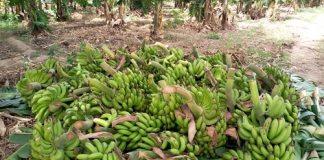 Maraicher-culture-une bananeraie à Gomposon- dans- le- Passoré
