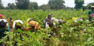 Travaux- champêtres- dans –la- Kossi- Des -ouvrières –agricoles- à -Pa