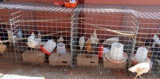 Entreprenariat –titulaire- d-une- maîtrise- Jeannette- Sorgho –fait- de- l-élevage- son- gagne-pain