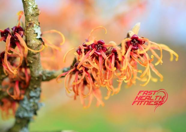 witch-hazel-603825_1920