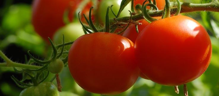 Tomatoes growing in summer garden