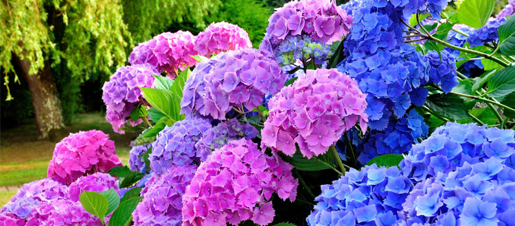 Colorful blooming Hydrangea shrub