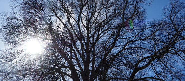 Healing medicinal elm tree for backyard landscape