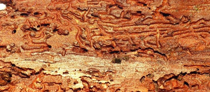 Tree service Atlanta beetle infestation climate change