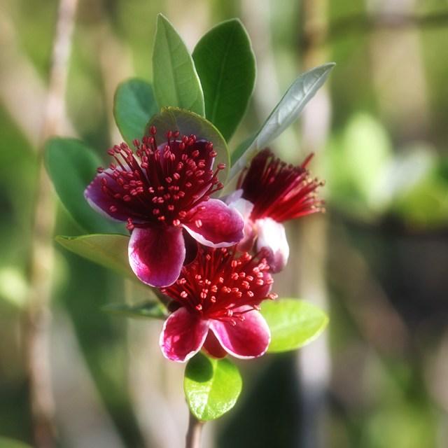 passionfruitguava
