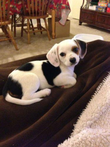 mixed-breed-dogs-cheagle-chihuahua-beagle