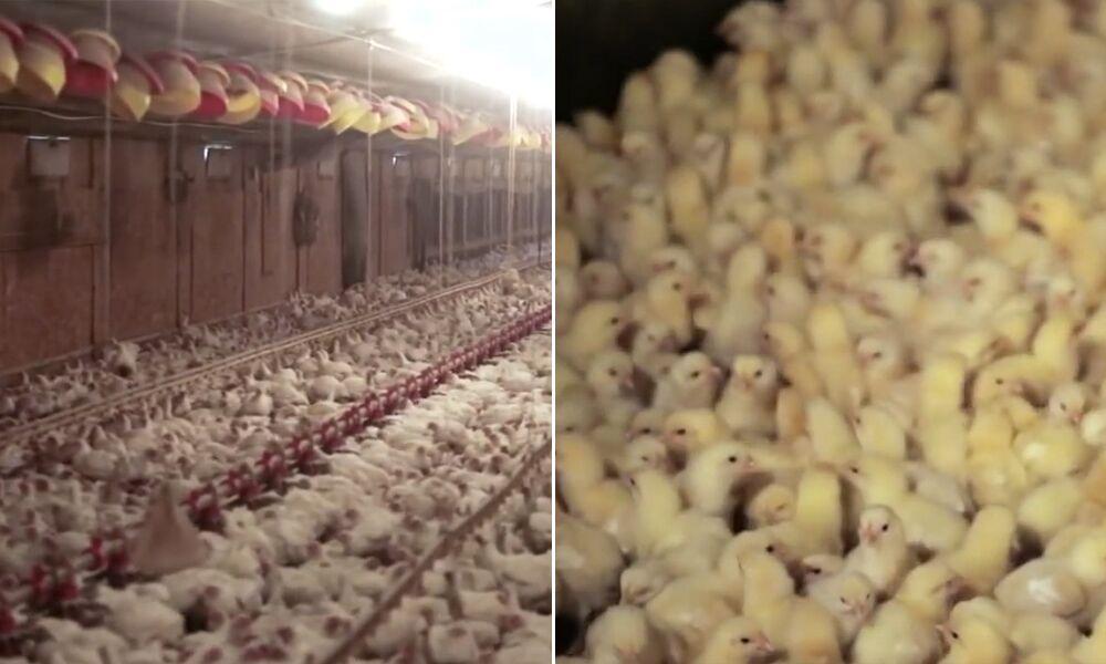 Vídeo chocante mostra de onde vem os frangos que nós consumimos