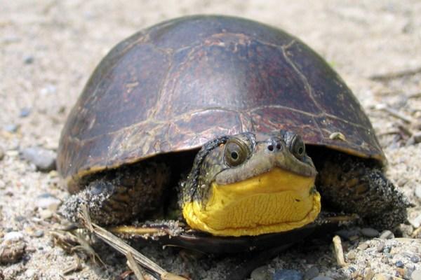 blandings_turtle-lrg