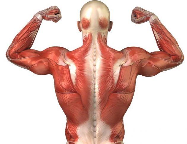 cuantos-musculos-tiene-el-cuerpo-humano