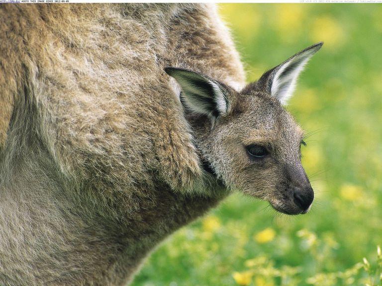 Como é por dentro da bolsa de um canguru?