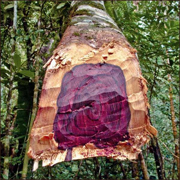 rosewood-essential-oil-aniba-rosaeodora-003