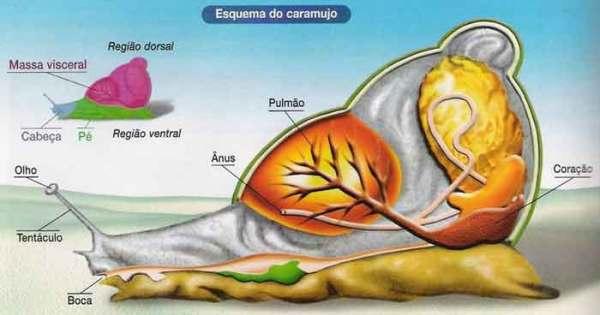 esquema_caramujo