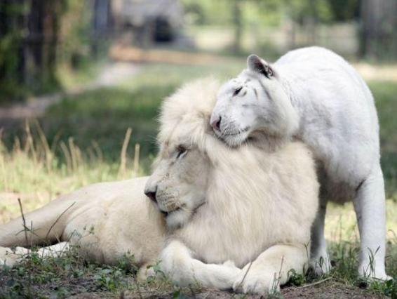 Um leão branco e uma tigresa branca tiveram filhotes, o resultado é impressionante