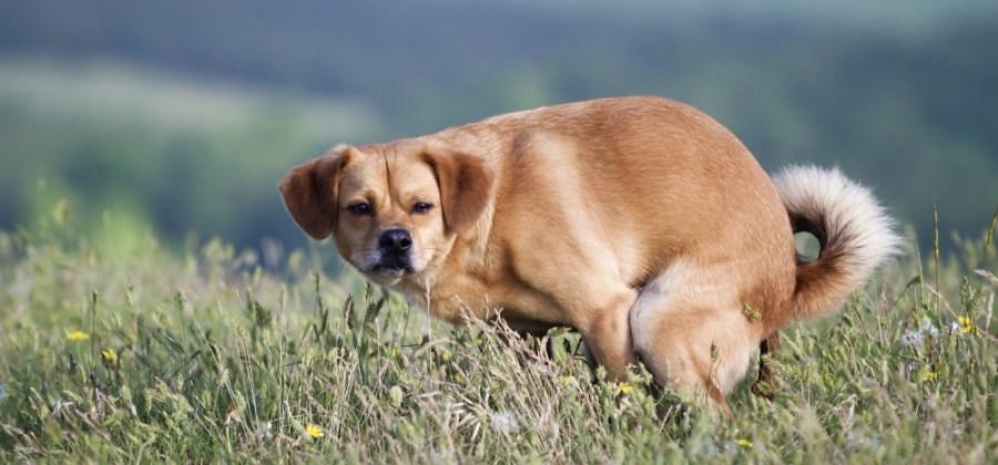 8 Maneiras De Ensinar Seu Cachorro A Fazer Cocô E Xixi No Lugar Certo