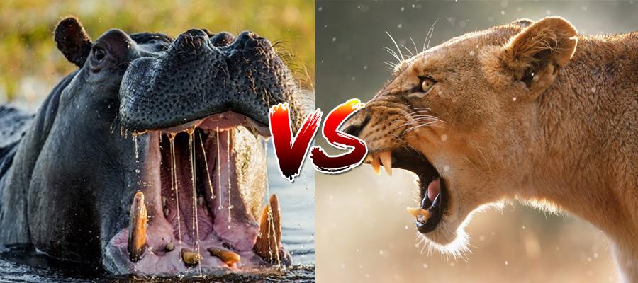 Assista a essa leoa que nunca mais vai se atrever a provocar um hipopótamo