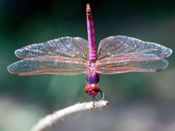 Dragonflies 600x450, Fatos Desconhecidos