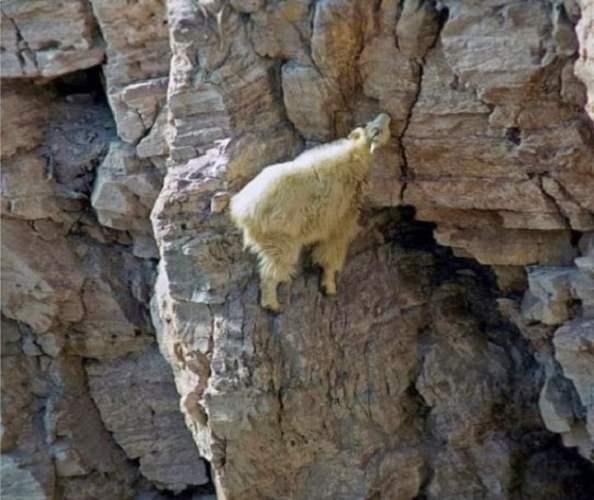 Crazy Goats On Cliffs 8 Unknown 594x500, Fatos Desconhecidos
