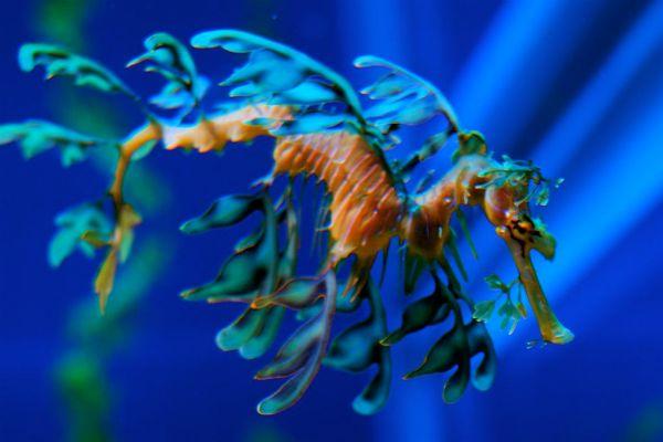 1024px Leafy Sea Dragon 3 600x400, Fatos Desconhecidos