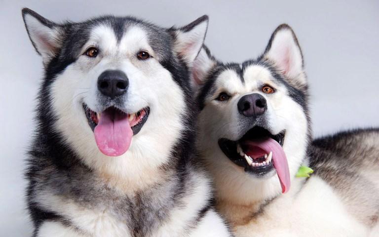 31 provas que os huskies siberianos são os cachorros mais expressivos do mundo