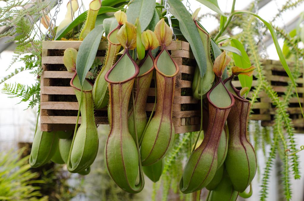 Z Nepenthes, Fatos Desconhecidos