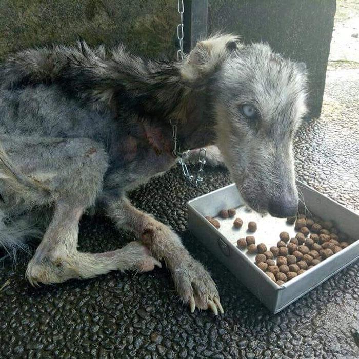Esse husky foi encontrado desnutrido e como ele está 10 meses depois é surpreendente