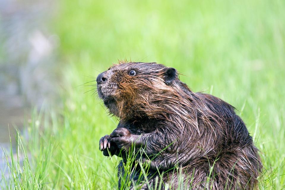 Beaver 1448389 960 720, Fatos Desconhecidos
