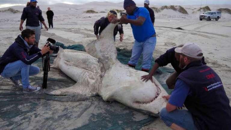 Tubarões brancos estão sendo caçados e não são por seres humanos