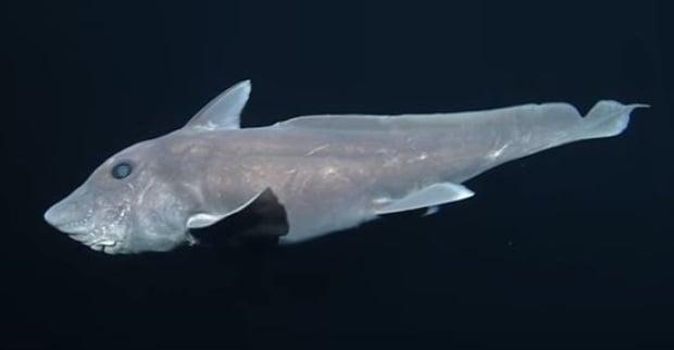 Por incrível que pareça esse tubarão que tem pênis retrátil na cabeça [Vídeo]