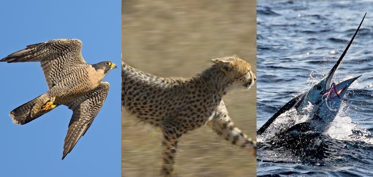 O animal mais rápido do mundo definitivamente vai te decepcionar
