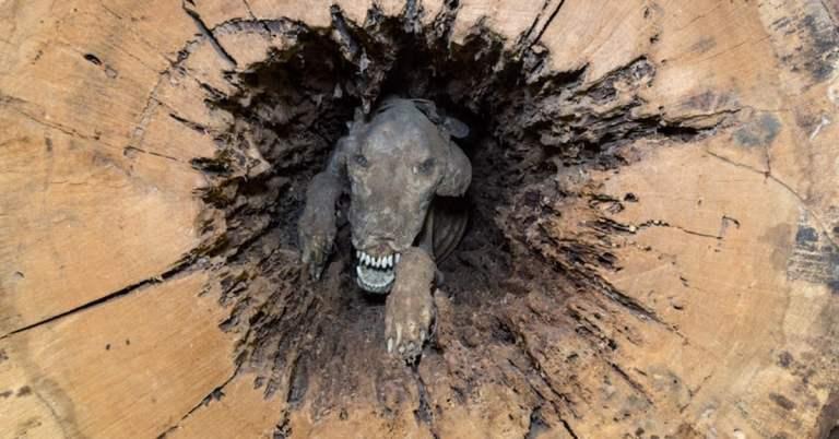 A chocante história do cão que está mumificado dentro de uma árvore
