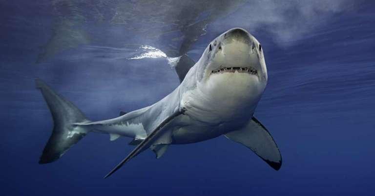 Dentes encontrados na Austrália pertencem a tubarão duas vezes maior que o Branco