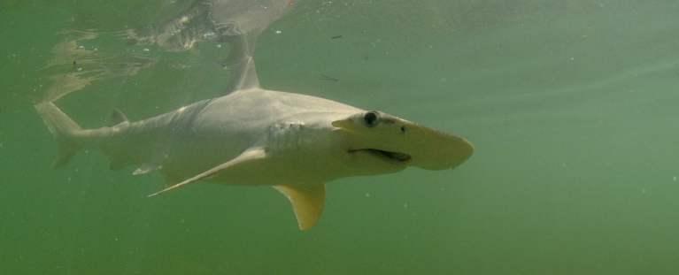 O primeiro tubarão que não é apenas carnívoro foi descoberto