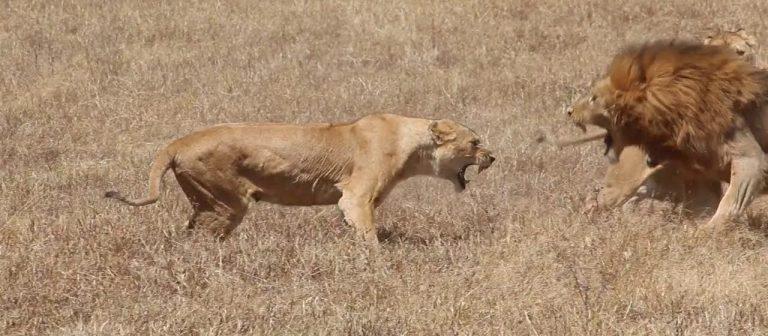 Momento chocante mostra leão sendo atacado por 9 leoas