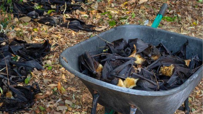 Entenda como um terço dos morcegos da Austrália morreu em poucos dias