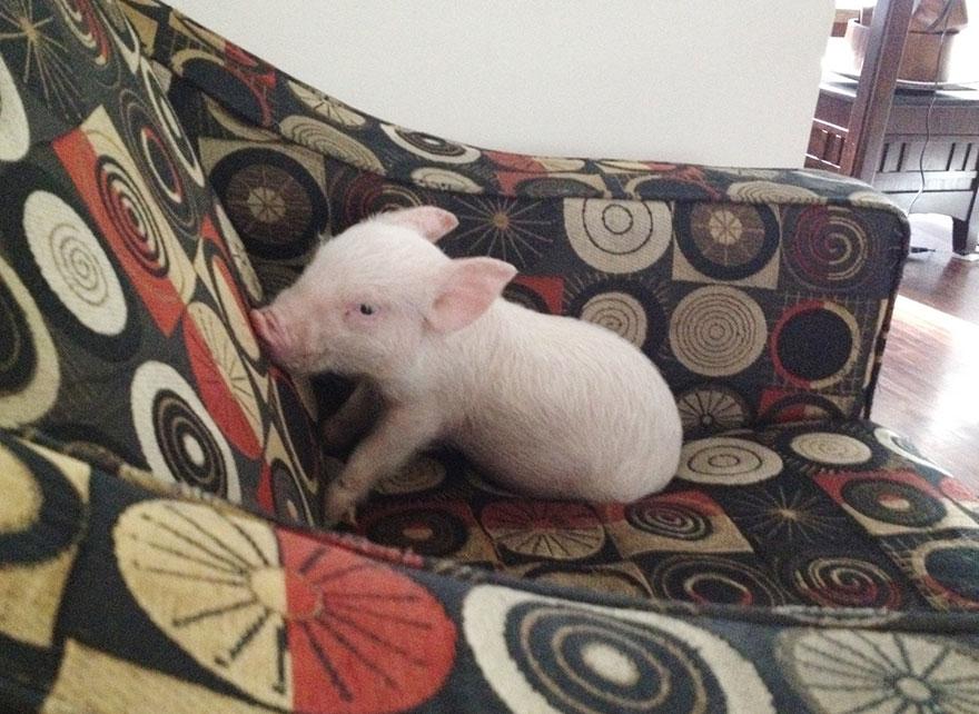Família acreditou estar comprando um mini porco e teve surpresa tempos depois