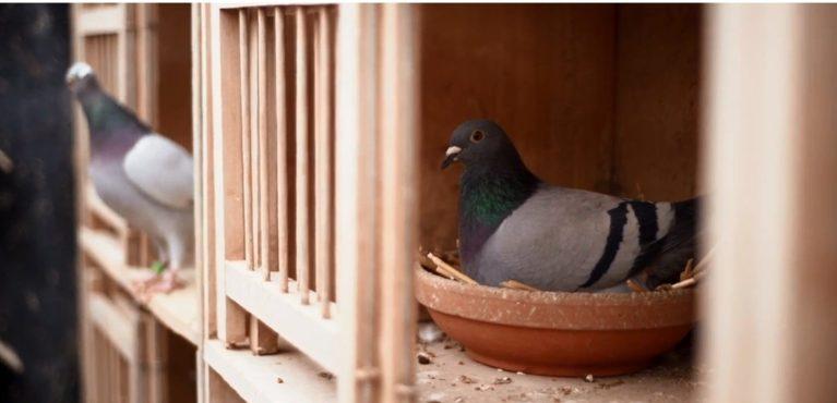 """Entenda porque esse """"simples"""" pombo foi vendido por mais de R$ 5 milhões"""