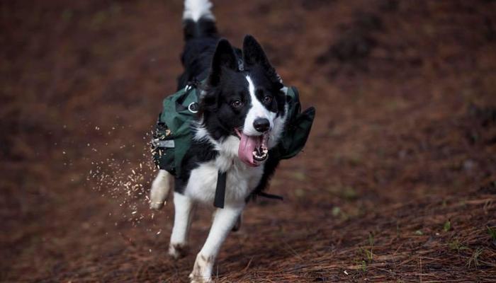 Entenda como 3 cães estão ajudando a replantar floresta após incêndio