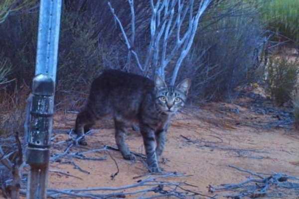 Australia Cat Killing 2 810x540 600x400, Fatos Desconhecidos