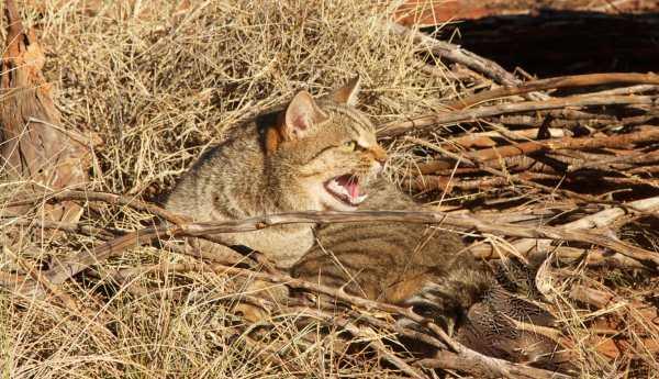 Cat Killing Australia 600x345, Fatos Desconhecidos