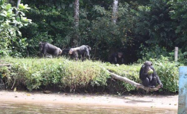 Chimpanzés Abandonados 1 600x366, Fatos Desconhecidos