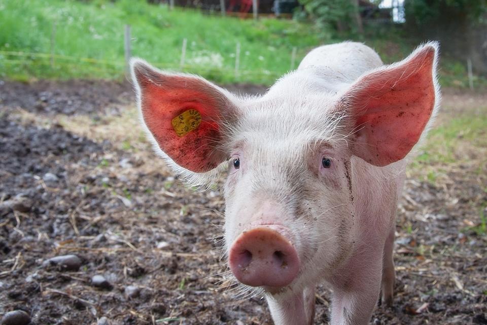 Experimento bizarro implanta órgãos de porcos em macacos, entenda