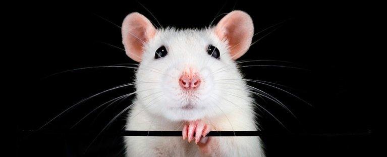 Células-tronco pulverizadas em nariz de rato restauraram seu olfato