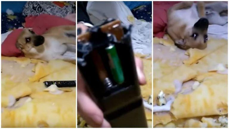 Conheça Chico, o cachorrinho que viralizou na internet por conta de sua destruição