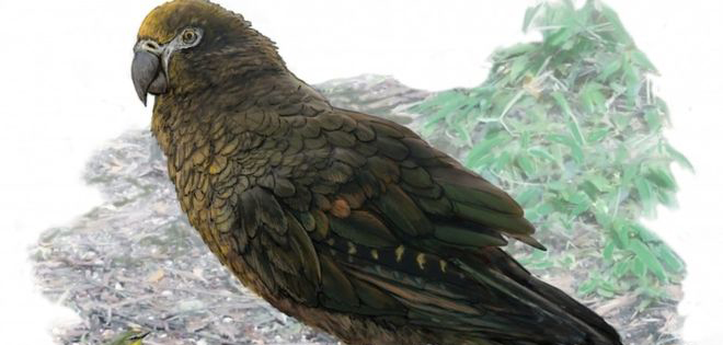 Fóssil de papagaio gigante pode ter sido encontrado na Nova Zelândia