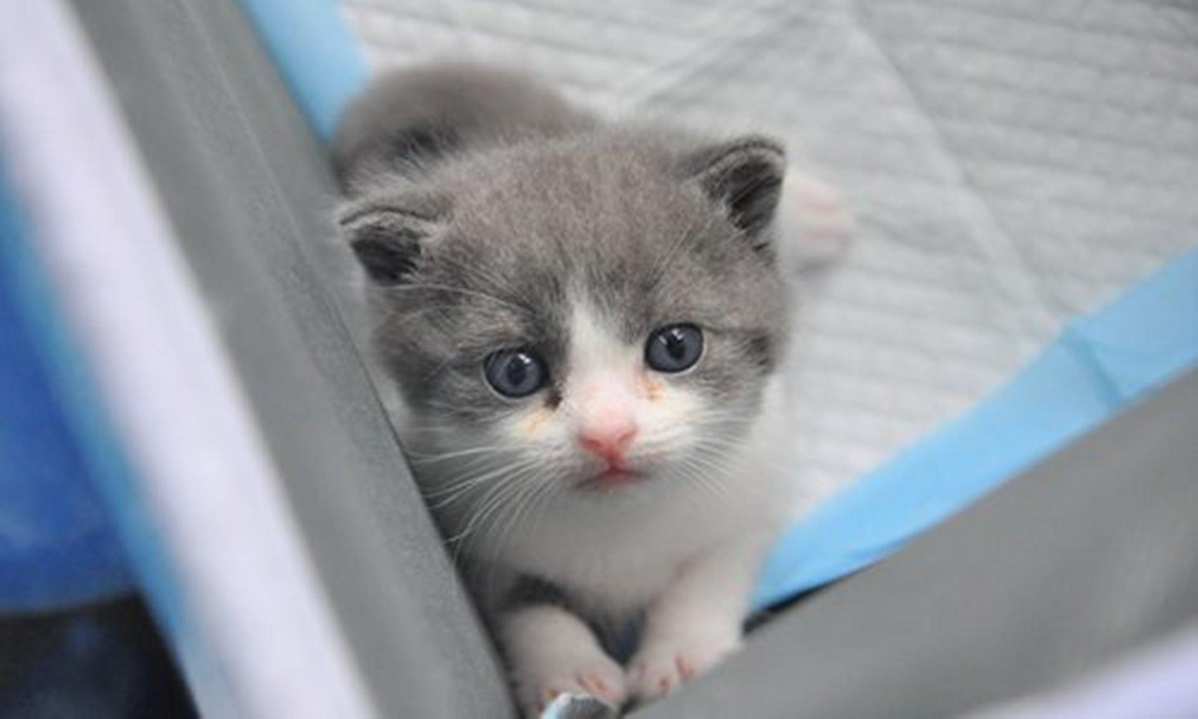Gatinho foi clonado pela ciência para confortar o seu dono