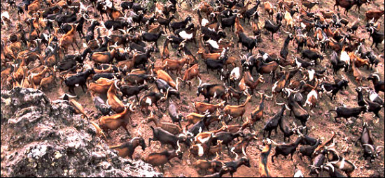 O projeto que declarou guerra à 250 mil cabras para salvar uma espécie