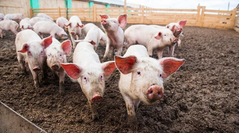 Transplantar corações de porcos em humanos pode estar mais próximo do que se imagina