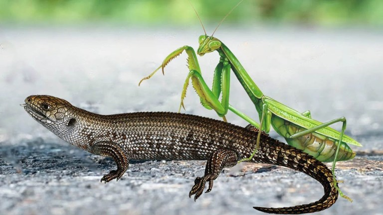 Video viraliza com louva-a-deus comendo lagarto