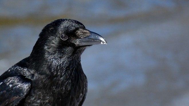 O homem que é perseguido por corvos há 3 anos seguidos