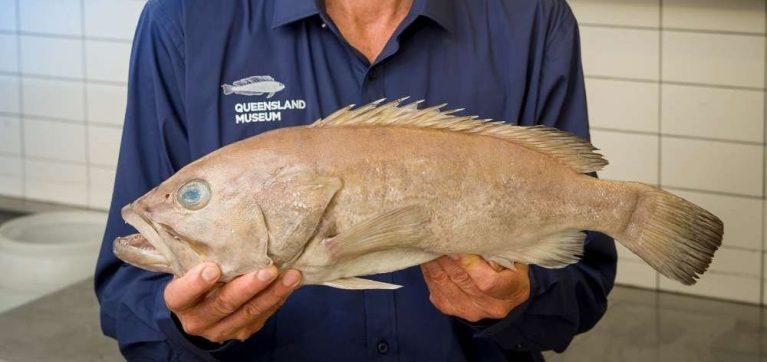 Sem saber, australianos comiam peixe desconhecido pela ciência